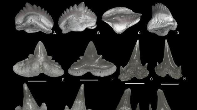 Teeth of Ginglymostoma sokotoense (A-D), Abdounia recticona (A-B), Premontreia (Oxyscyllium) peypouqueti (G-N). Eotorpedo hilgendorfi (O-P), Squatiscyllium nigeriensis (Q-T)