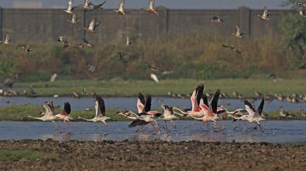 Ornithologist and naturalist Sunjoy Monga said he had received reports of about 1,000 to 1,200 flamingo numbers at Panje.(Aishwarya Sridhar)