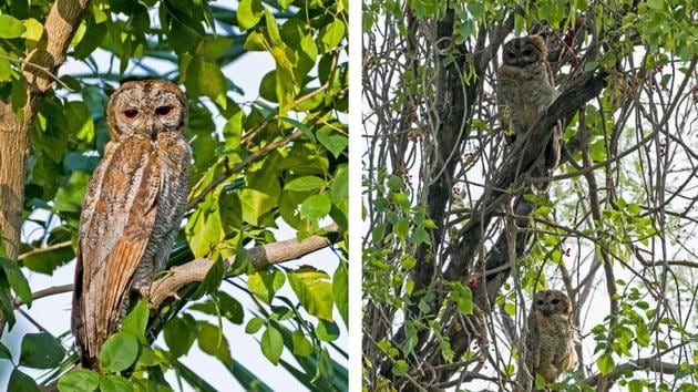 At Peermuchalla forests, the Mottled Wood owl father and (on right) the father with the juvenile owl perched below him.(PHOTOS: GURJEET VIRK)