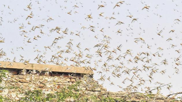 Locusts can fly up to 150km in a day and a one-square-kilometre swarm can eat as much food as 35,000 people.(PTI)