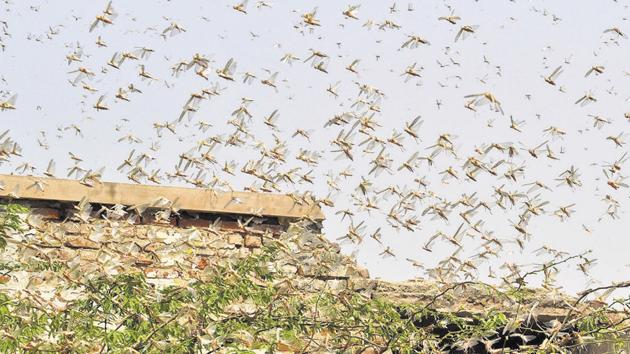The locust attack is another blow to farmers already reeling under the impact of Covid-19 lockdown.(PTI)