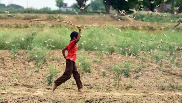 A child attempts to chase away a swarm of locusts over a field in the outskirts of Prayagraj on Wednesday.(PTI File Photo)
