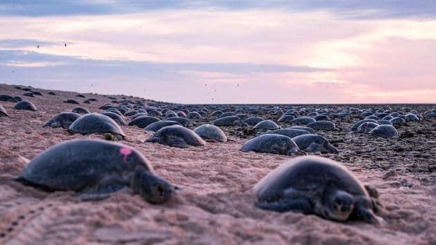 Turtles nest on Raine Island, far North Queensland, Australia.(REUTERS)