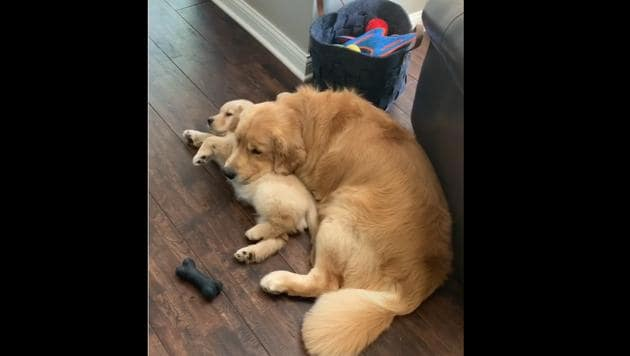 Doggo siblings Bodie and Riggs enjoying some lazy time.(Instagram/@charlieandbodie)