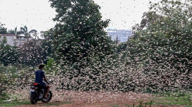A man rides a bike as a swarm of locusts fly over a field in Bhopal.(PTI Photo)