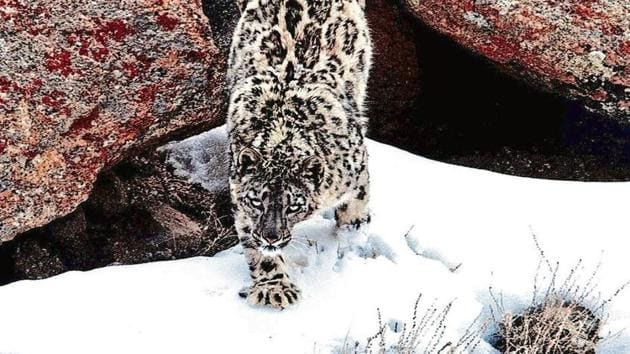 A snow leopard was spotted in Gangotri National Park in Uttarakhand. The picture of this snow leopard was shot in 2017 in Uttarakhand.(HT Photo Archives)