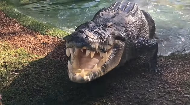 The image shows Elvis, the crocodile ready to pounce on his food.(Facebook/Australian Reptile Park)
