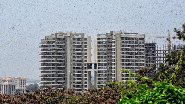Earlier, two separate groups of desert locusts were spotted in Bhopal for the first time this year in mid-May, when they had entered MP's Kolar Road and Bairasia from Rajasthan.(PTI)