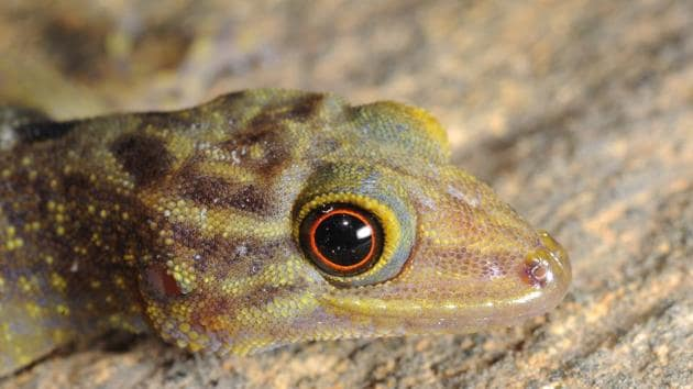 The species is distinguished from others in its genus due to its size and round pupils.(Pic courtesy: Ishan Agarwal)