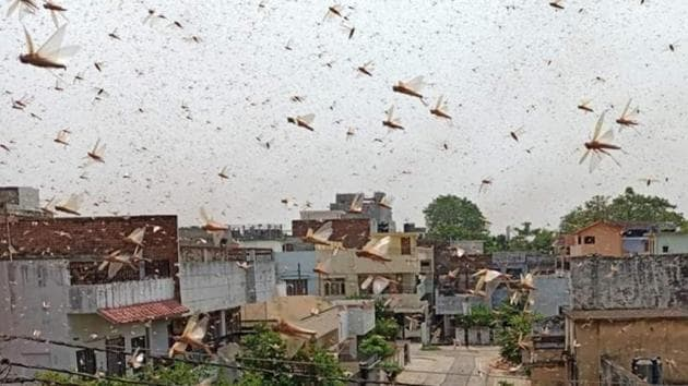 A swarm of locusts fly over a residential colony at Kareli, in Prayagraj on June 11, 2020.(Aurangzeb/HT File Photo)