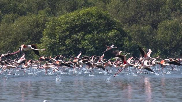 In August 2016, the state declared the northern part of Thane creek – that includes a flamingo sanctuary spread over 1,690 ha (896 ha mangroves and 794 ha land adjacent to a water body) – as tourism zone to safeguard the flamingo population.(Pratik Chorge/HT Photo)