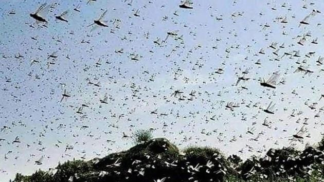 The most threatened states where locust attacks have been curbed are Rajasthan, Punjab, MP, Gujarat, Maharashtra and UP, as the country robustly heads into its summer-sown kharif crop season.(File photo)