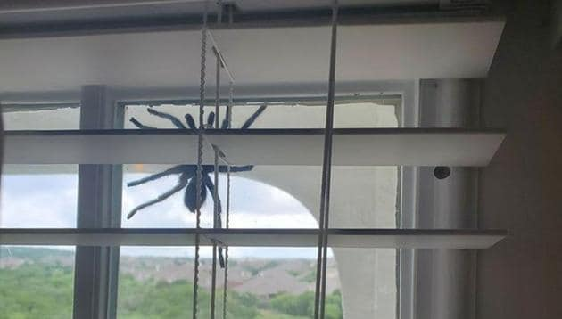A picture of the spider on the window.(Facebook/Teouna Thomas)