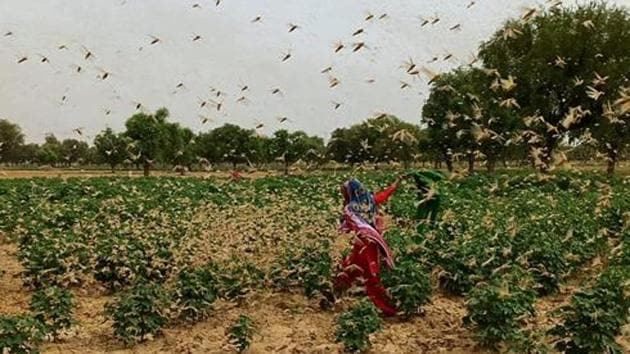 The invasion of these tiny insects can pose a serious threat to livelihoods of millions and cause a shortage of food supply in their relentless drive to eat and reproduce.(HT photo/ Manoj Dhaka)