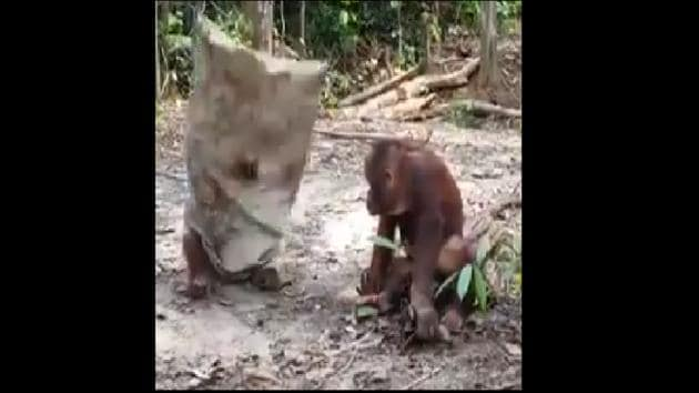 . The goofy actions of both the orangutans will definitely cure any mid-week blues you may have.(Twitter/@susantananda3)