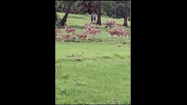 The video shows the herd of deer happily running around in an area near River Mithi in Mumbai.(Facebook/@Afroz Shah)