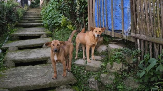 Dogs stand by a flight of stairs outside their house in Kohima, capital of the northeastern Indian state of Nagaland.(AP Photo/Yirmiyan Arthur)