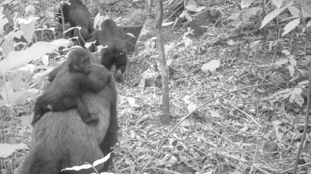 This photo taken by a camera trap shows an adult female Cross River gorilla with an infant on her back.(AP)