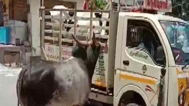 Muniandiraja, a resident of Madurai's Palamedu, said he sold his cow and had loaded it to his truck for transportation. However, the Bull could not bear the separation and followed the vehicle for about 1 km and attempting to stop it.(ANI photo)