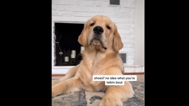 The puppy is in for some serious questioning from his pet mom.(Instagram/@golden_boy_boone)