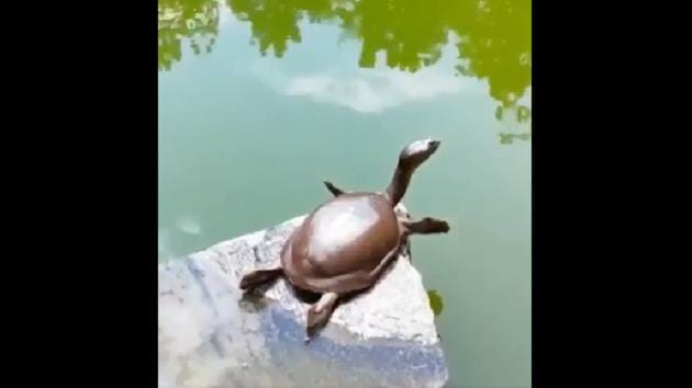 The video starts with a turtle sitting on top of a rock beside a pool of water.(Twitter/@SudhaRamenIFS)