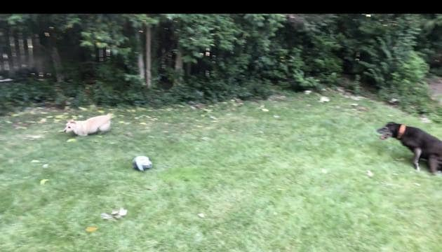 The image shows a pupper running around in the backyard as another one watches on.(Reddit/@PropLiftingMofo)