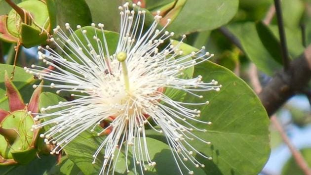 Known as white chippi in Marathi, Sonneratia alba grow up to five feet and bear white flowers with a pink base .(Mangrove Cell)