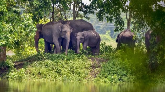 A herd of elephants take shelter on a higher ground following flooding in the low-lying areas of Kaziranga National Park.(PTI)