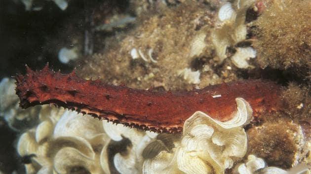 Sea cucumber underwater.(De Agostini/Getty Images)