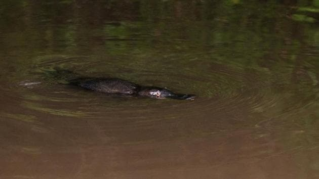The platypus is listed as endangered in South Australia.(Unsplash)