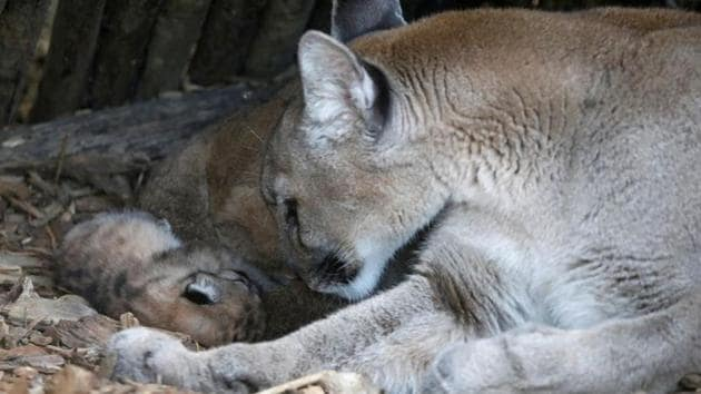 A newly-born baby puma sleeps next to her mother Maeli at Paris Zoological Park in the Bois de Vincennes, France.(REUTERS)