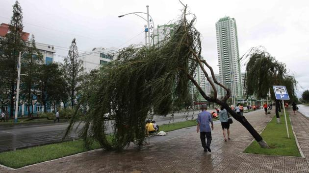 People walk under a damaged tree from a typhoon on a main road in Pyongyang, North Korea.(AP)