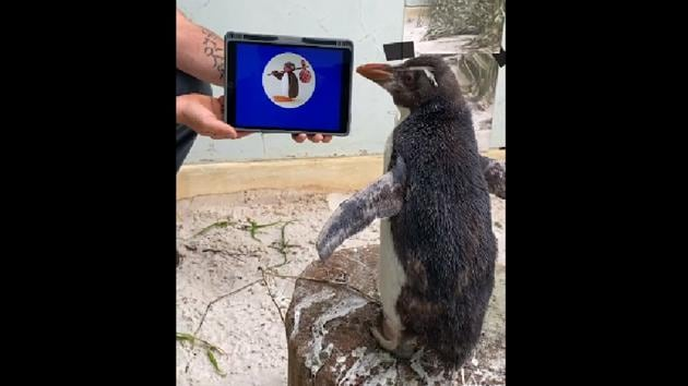 The clipshow Pierre watching the popular cartoon Pingu with undivided attention.(Facebook/Perth Zoo)