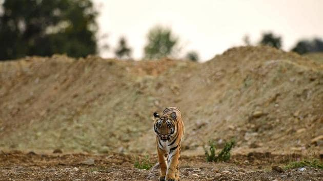 Irrigation department officials stated that tigers were using the overpasses across at least two locations in south Brahmapuri region surrounded by fragmented forest patches.(Mayank Mishra)