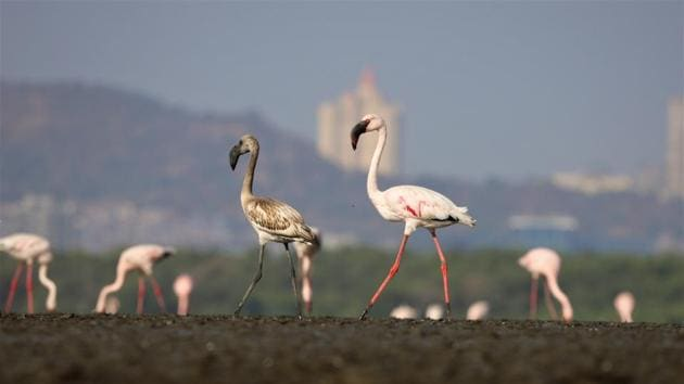 Flamingo numbers at the 500-hectare Sewri mudflat were 13,813 in January 2019 and 60,733 in March 2019, which fell to 4,395 in January 2020 and 4,106 in March 2020.(BNHS report 'Monitoring and Mitigating impacts of the MTHL on flamingos and other avifauna')