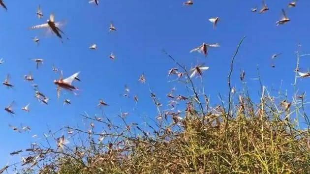 Since the past one and half year the country has faced huge locust attacks in more than 10 states, including national capital Delhi. (HT Photo)