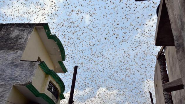 A swarm of locusts around Aliganj and Vikas nagar areas in Lucknow, Uttar Pradesh, earlier in July.(Deepak Gupta/Hindustan Times)
