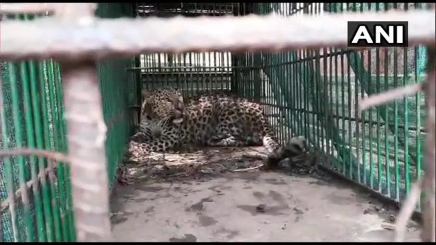 The leopard is set to be released into the jungle.(Twitter/ANI)