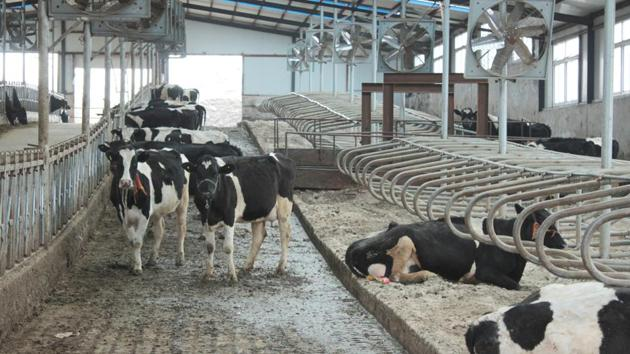 Cows are seen at farm houses at an independent dairy farm in Shenyang, Liaoning province, China. The Brucellosis outbreak has been attributed to a gas leak in the Lanzhou Biopharmaceutical Factory. Livestock is usually prone to contracting the disease but humans can get infected if they come in contact with infected livestock.(REUTERS/For Representative Purposes Only)