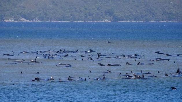 Stranded pilot whales are seen in Macquarie Heads, Tasmania, Australia on September 21, 2020.(Ryan Bloomfield via Reuters)