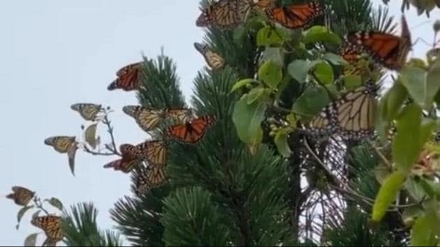 Shared on Instagram by Shedd Aquarium, the species identified in the clip is Monarch butterflies.(Instagram/@shedd_aquarium)