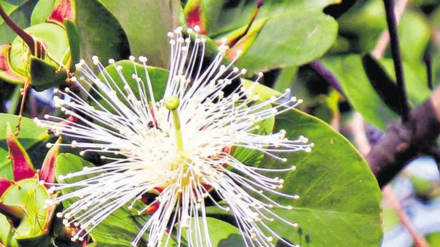 Sonneratia alba is an evergreen mangrove species that grows up to five feet(HT Photo)