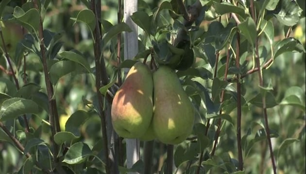 Sher-e-Kashmir University is growing high-density variety of pears.(ANI)