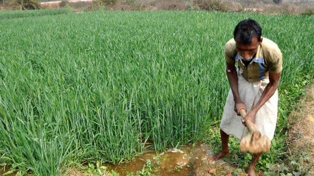 A farmer working in his field for Rabi crop (wheat).(File photo)