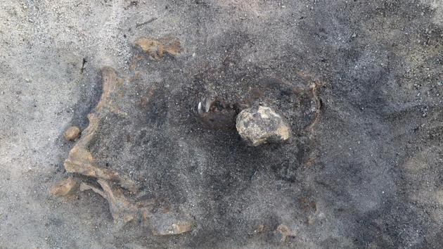 This photo shows the scull and remains of a dog thought to be over 8,400 years old, found in a southern Sweden burial site.(AP)