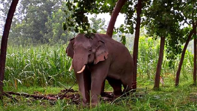 One of the elephants that had ventured into the Uttarakhand-UP border area from Nepal last year in June.(HT file photo)