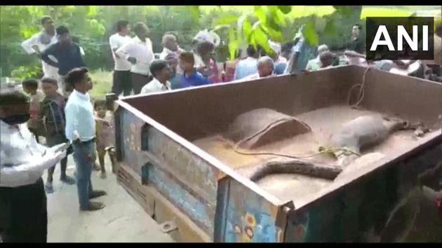 The python being taken away.(Twitter/@ANI)