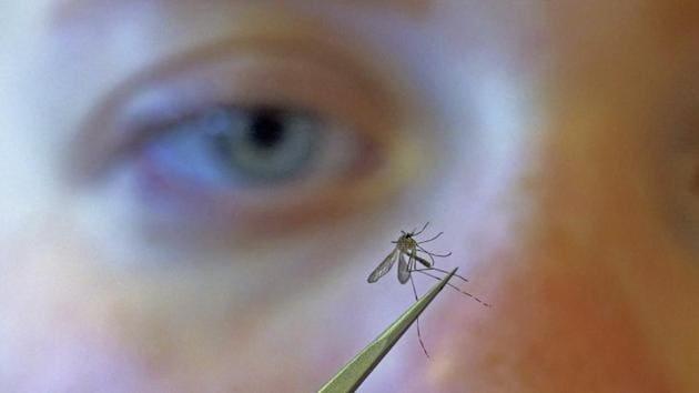 The ICMR study showed that Indian mosquito breeds- Ae. aegypti, Cx. quinquefasciatus and Cx. Tritaeniorhynchus were vulnerable to CQV.(AP file photo. Representative image)