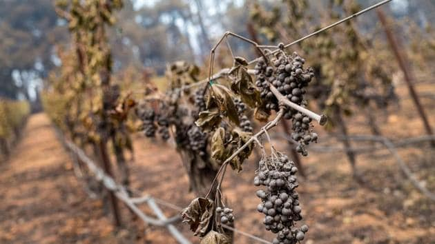 Ash covered grapes burnt by the Glass Fire at the Chateau Boswell winery in St. Helena, California, US.(Bloomberg)