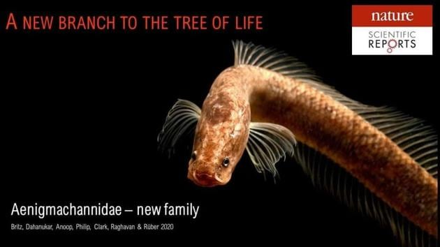 The study led to the recognition that this species, and its congener Aenigmachanna mahabali, represents a new family different from Channidae, in which both species were initially placed.(Twitter/@LabRajeev)